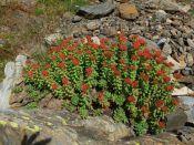 """J 13 – Andorre : découverte de l'Orpin Rose ou Rhodiola Rosea. Les pentes sont """"fermes"""" en Andorre..."""