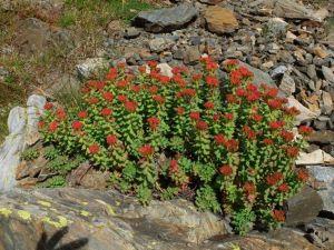 Orpin rose ou rhodiola rosea