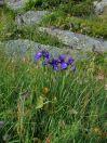 Iris de fin d'été !