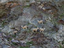 Moutons coté français