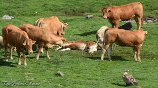 Acte 6 : Les blondes d'Aquitaine viennent épauler les moutons !!!
