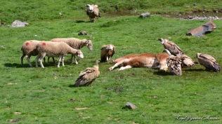 Acte 4 : Surprise : Les moutons font reculer les vautours !!!