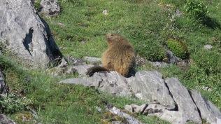 Marmotte sous la cabane de Peyreget