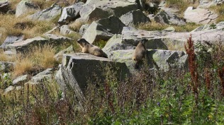 Marmotte au-dessus de Bachimaña Alto