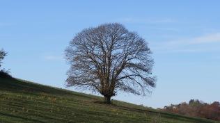Chêne centenaire