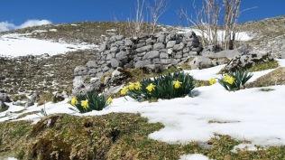 Jonquilles surprises par la neige !