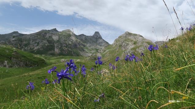 Anéou : Iris avant la montée à l'estive