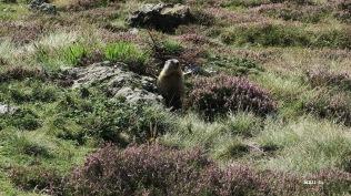 Marmotte et bruyères