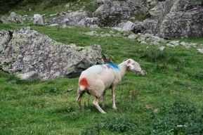 Mouton tricolore