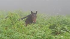 J 45 - Pottock entre fougère et brouillard