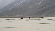 ânes broutant sur l'eau !