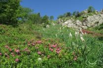 asphodèles et rhododendrons