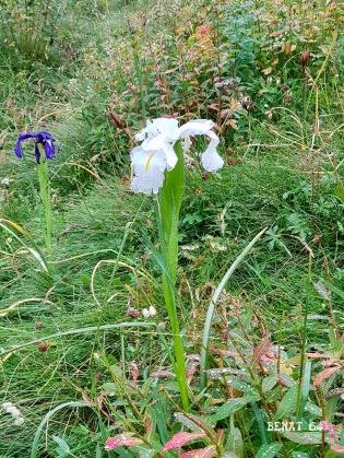 j5 : rare iris blanc