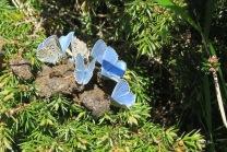 Polyommatus ou Argus bleu