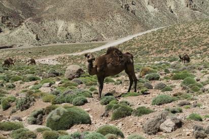 dromadaires des nomades Aït Atta