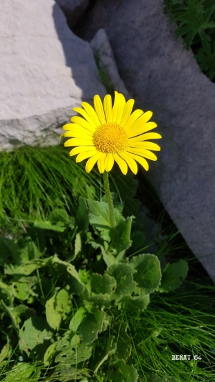 Doronic à grande fleur