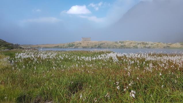Linaigrette face à la cabane du lac Lagues