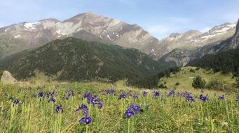 J 29 - retour en Aragon : champ d'iris face aux Posets (3375 m), depuis Viados