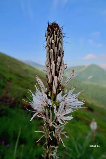 la fleur du jour : asphodelus albus