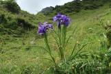 Iris sous le Bricoutou